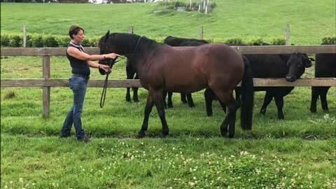 Anke Hawke works a horse in hand in a paddock