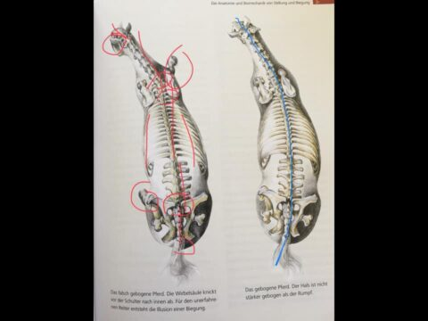 Aerial Skeletal View of a horses back alignment and balance