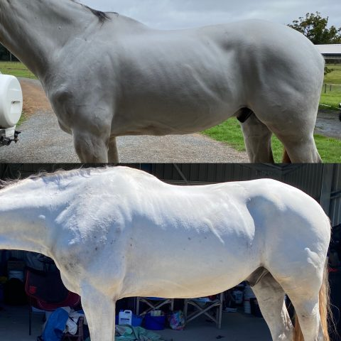 grey horse in rehabilitation work top picture first month in bottom picture three month of development.