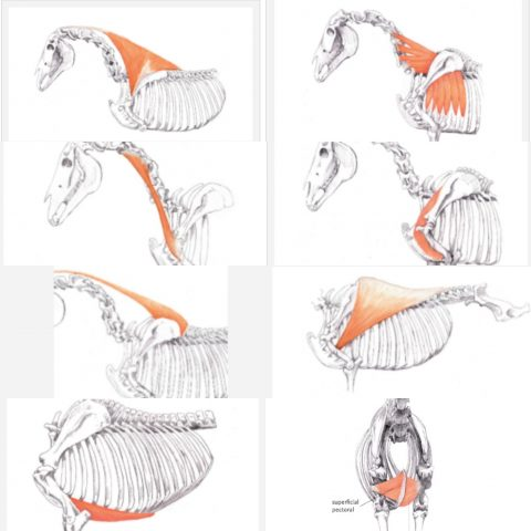 The muscles involved in the thoracic sling  From the book  horse movement: structure, function and rehabilitation by Gail Williams.