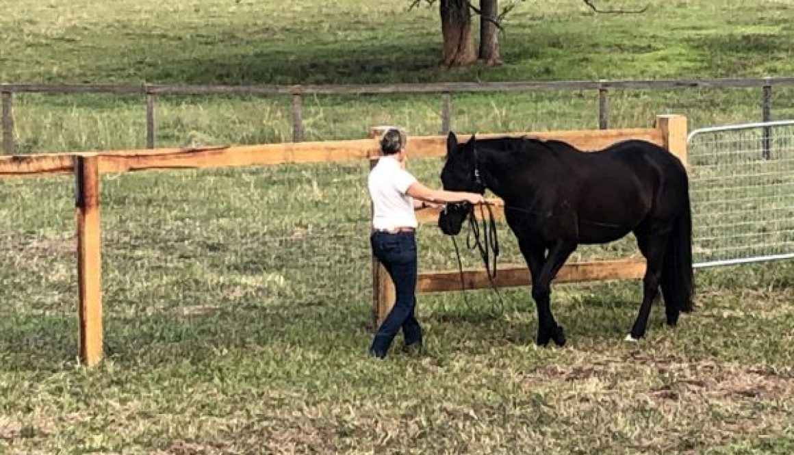black mare working in hand step by step, back to fitness.
