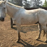 grey Australian stock-horse in paddock condition, his stance is out of balance and his muscles development is poor