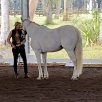 Grey Australian stock horse waiting relaxed and ready for the next task, happy relaxed learning