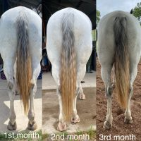 grey horse in for rehabilitation work stance of hind legs muscle development and tail carriage. spinal alignment.