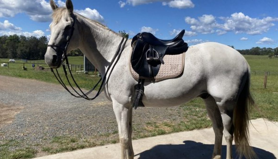 grey Australian Stock -horse in better balance rounder and softer all muscles working together